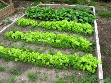 Lettuce alt. Carrots, Radishes