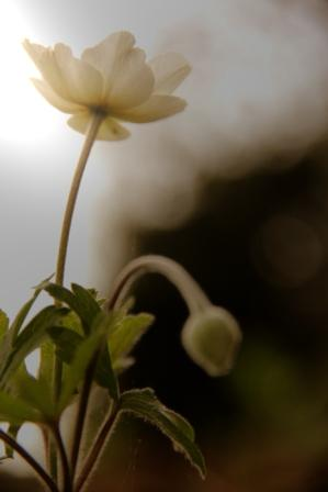 Snowdrops in Dappled Sun
