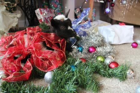 Dolly, the Christmas goat :-)