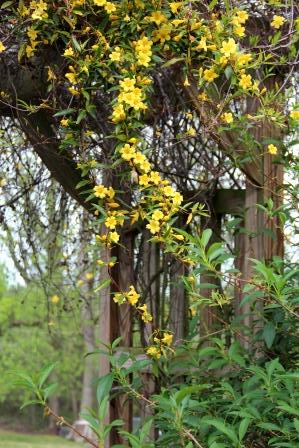 Carolina Jasmine on the arbor leading from one part of the yard to the mid-section.