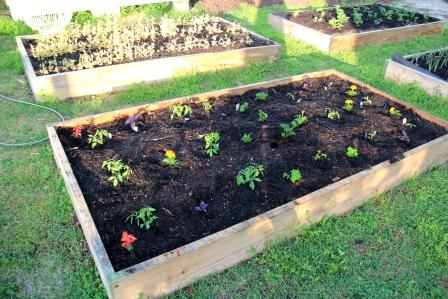 Newly planted tomatoes, peppers, flowers, and basil.