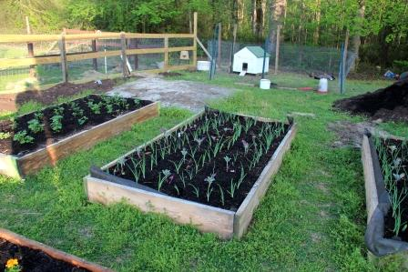 These are the beds I planted for early spring. Potatoes on the far left, brassicas and onions in the other bed.