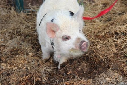 Piggles, the kunekune