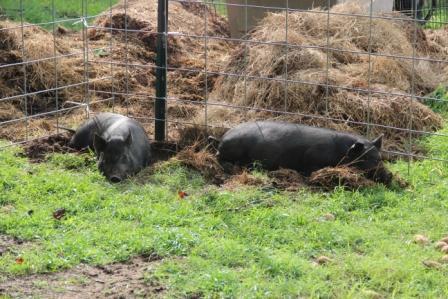 website pigs