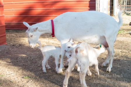 A high producing dairy goat can feed her own babies AND have milk left over for human use.