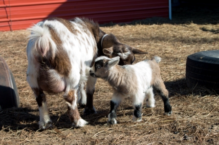 Even a small breed goat can produce more than her babies need.
